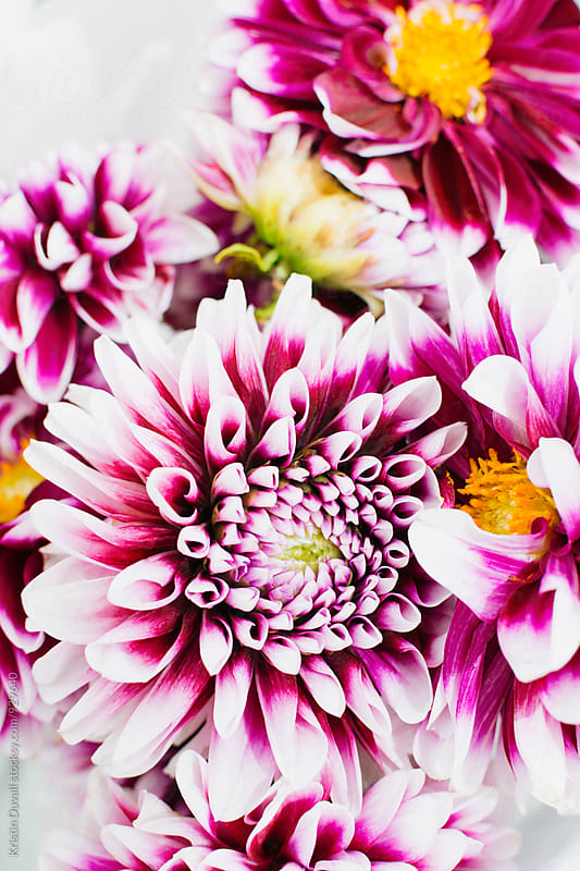 Purple and white Dahlia flowers by Kristin Duvall for Stocksy United