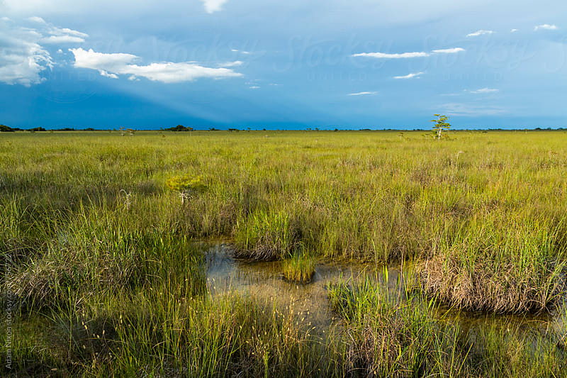 Rain over the river of grass, Everglades National Park Florida by Adam Nixon for Stocksy United