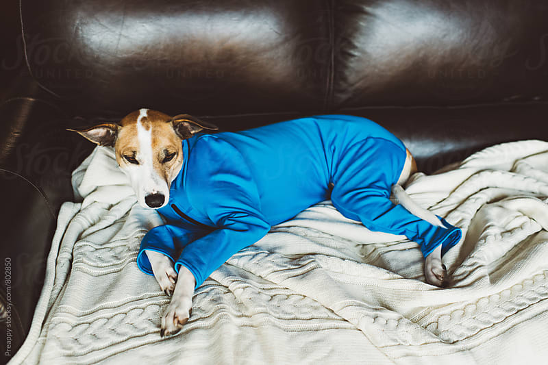 Dog in onesie resting on couch by Preappy for Stocksy United
