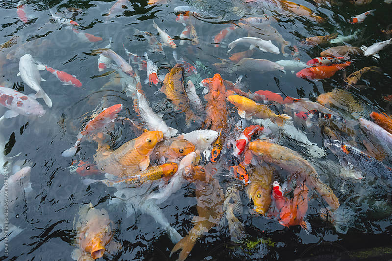 Pond overcrowded with colorful koi fish reaching for air      by Jovana Milanko for Stocksy United