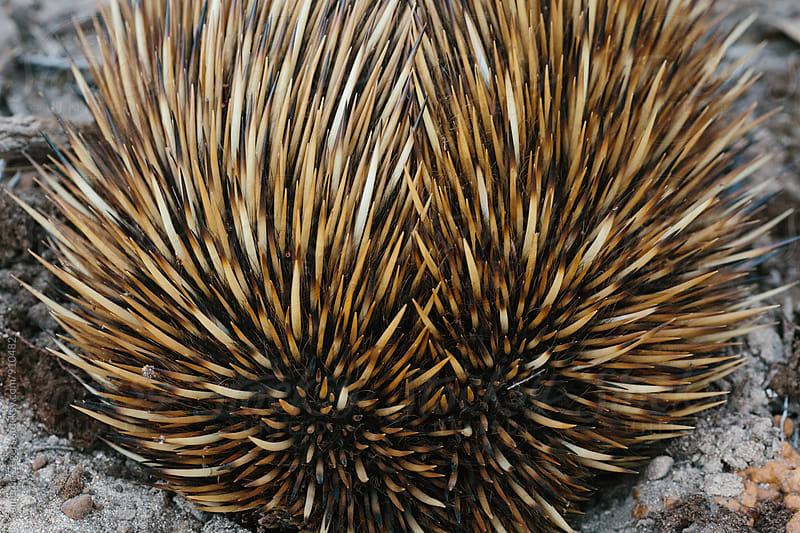 Echidna by Cameron Zegers for Stocksy United
