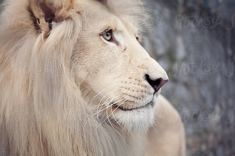 African Albino Lion by B & J for Stocksy United