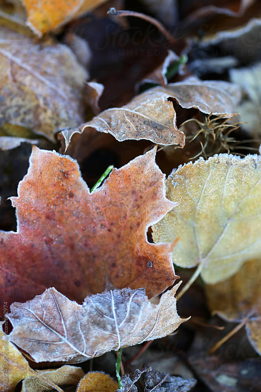 Crisp Autumn Leaves Covered With Frost by ALICIA BOCK for Stocksy United