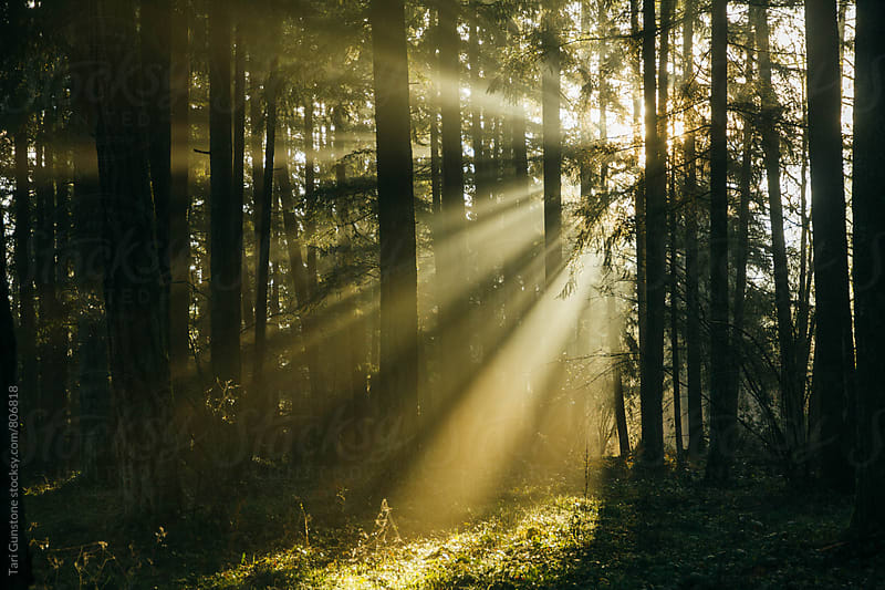 Sun rays filtering through foggy forest by Tari Gunstone for Stocksy United
