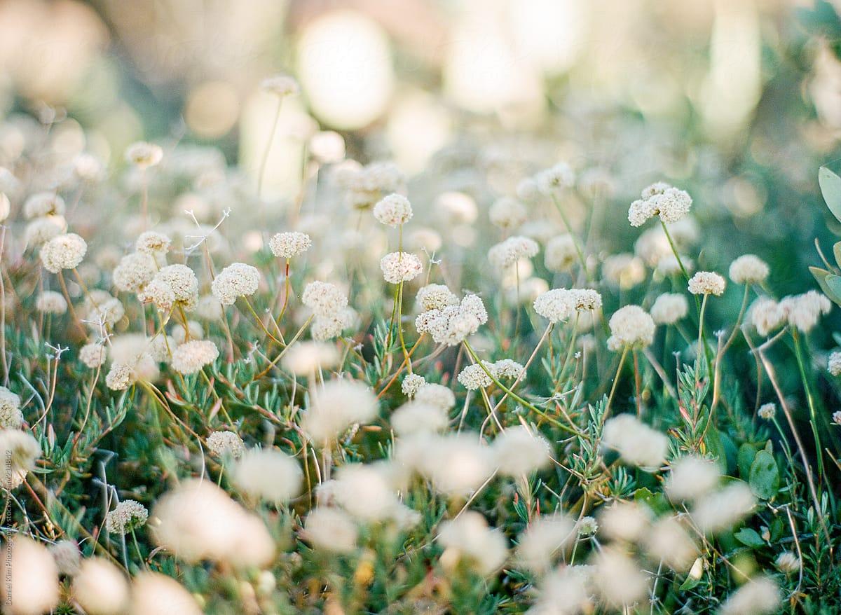 White Desert Flowers In The Golden Sun Stocksy United