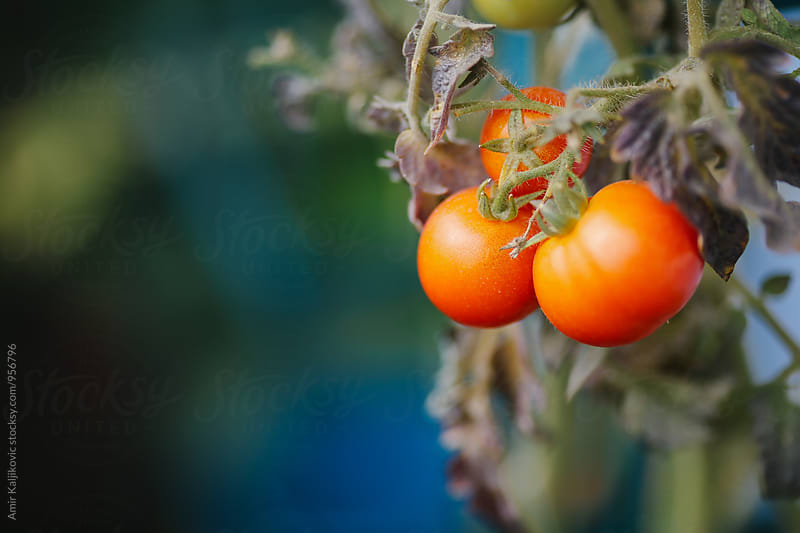 Fresh juicy ripe red tomatoes hanging on the plant by Amir Kaljikovic for Stocksy United