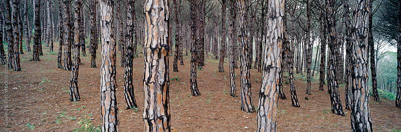 Stone pines, Pinus pinea, Sierra de Andujar Natural Park, Jaen province. Andalucia, Spain. by Gavin Hellier for Stocksy United