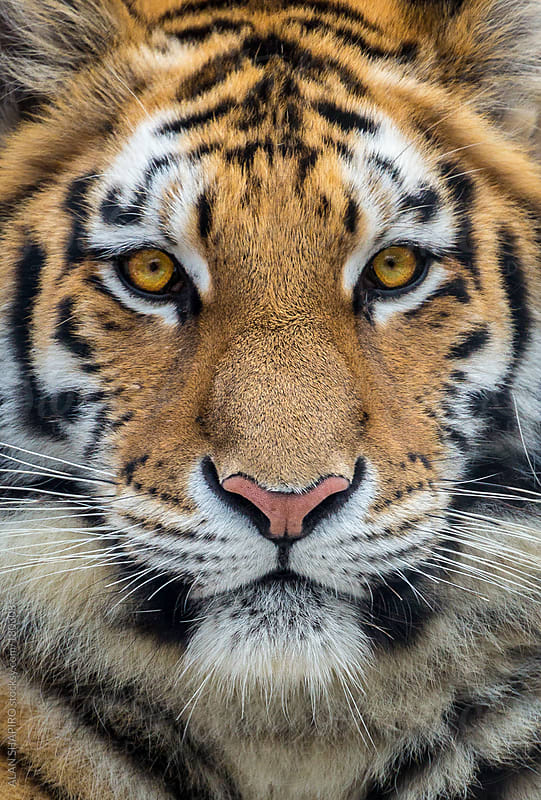 Bengal Tiger up close by ALAN SHAPIRO for Stocksy United