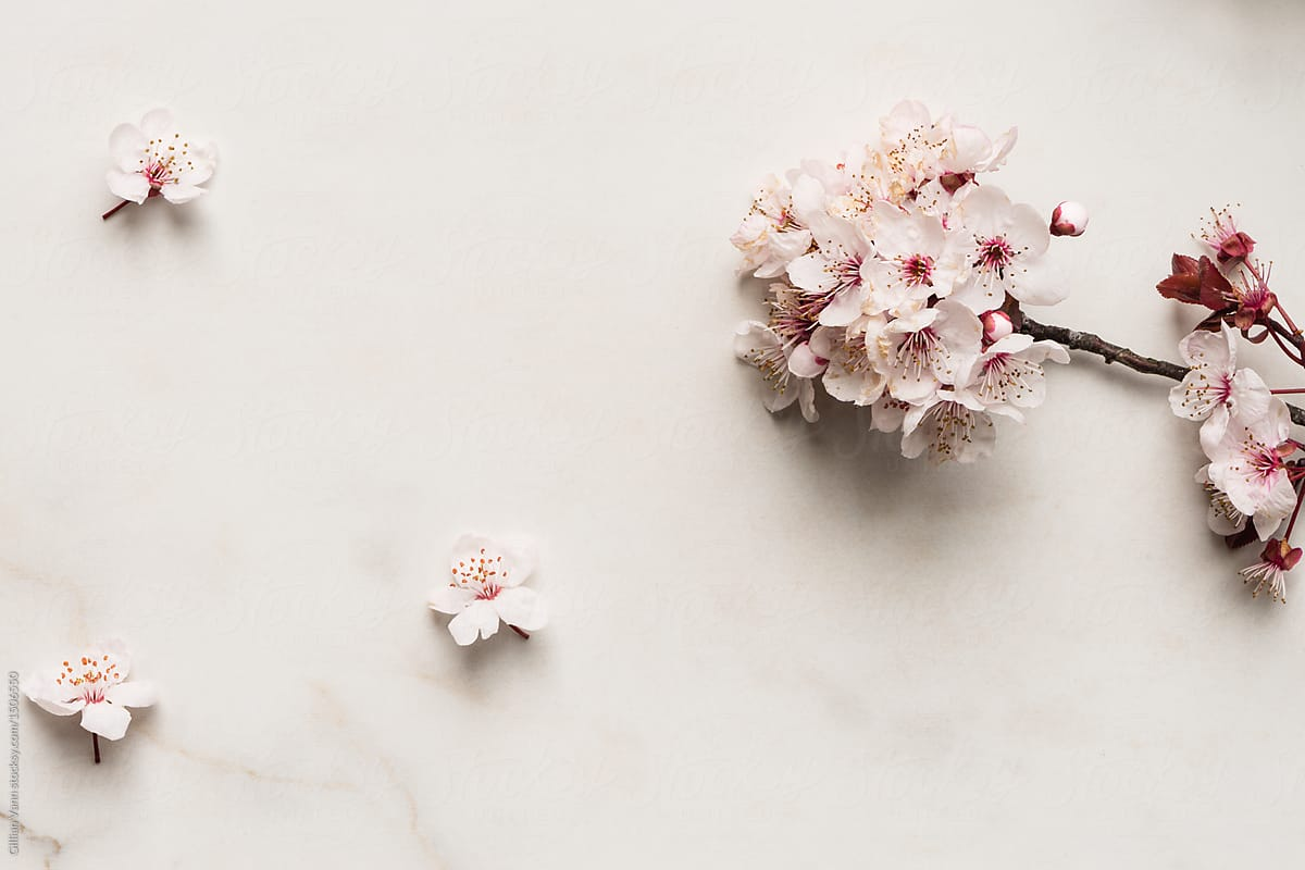 Spring Flowers Apricot Or Plum Blossoms On Marble Background By