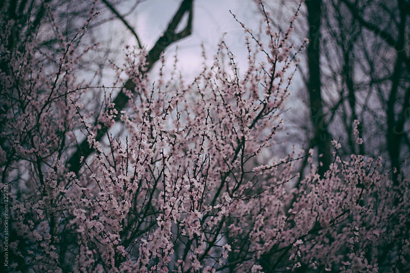 Part of a Cherry Blossom Tree on a Cloudy Day by Kevin Keller for Stocksy United