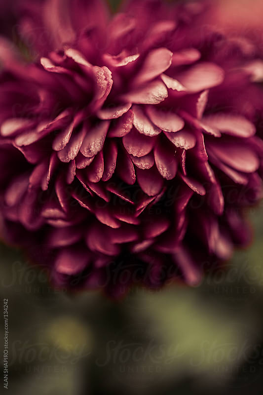 chrysanthemums by ALAN SHAPIRO for Stocksy United
