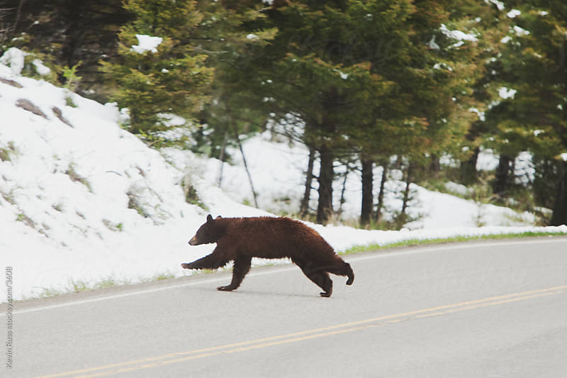 Road Crossing Bear by Kevin Russ for Stocksy United