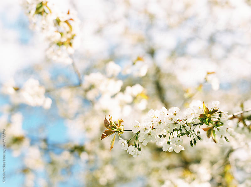 Horizontal image of white cherry blossom by Kirstin Mckee for Stocksy United