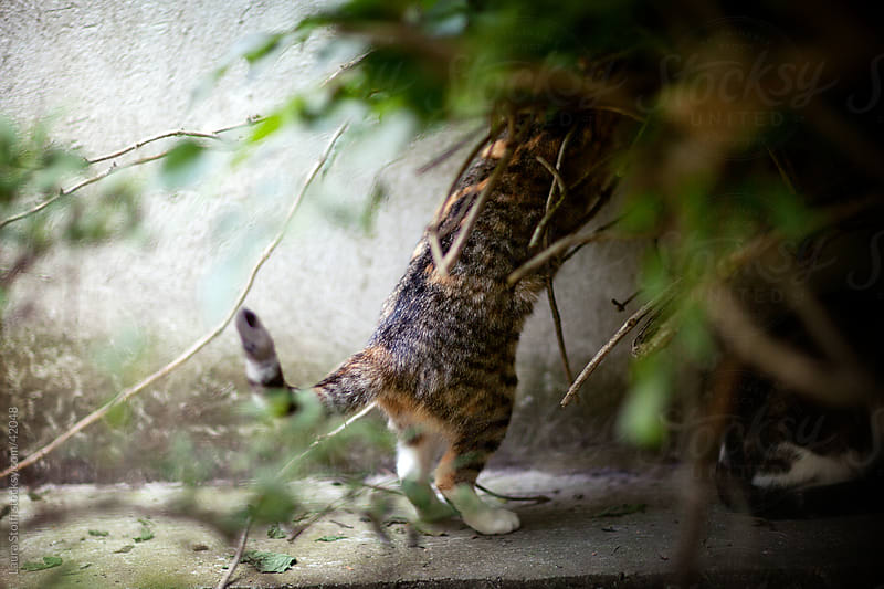 Cat dipping with head into bush in order to hunt something by Laura Stolfi for Stocksy United