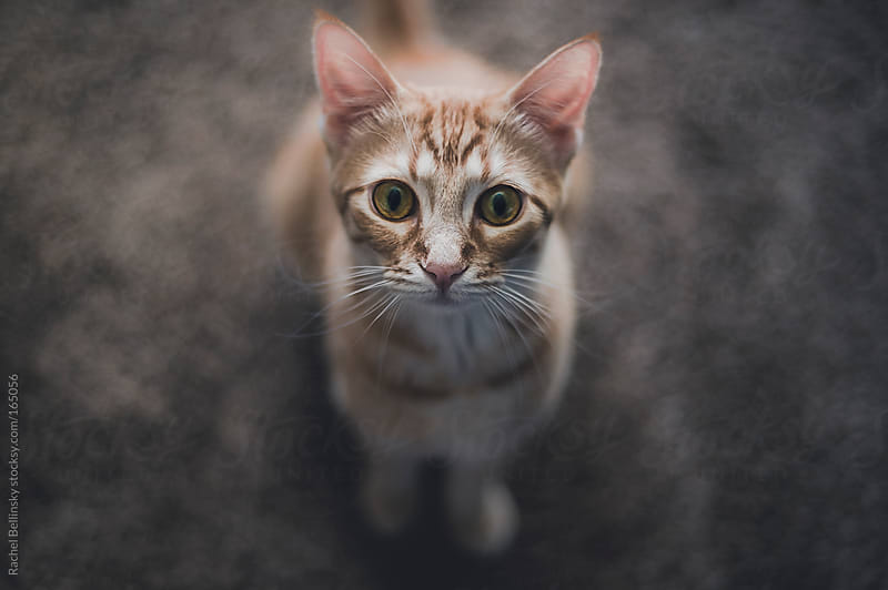 An orange cat looks intensely into the camera by Rachel Bellinsky for Stocksy United