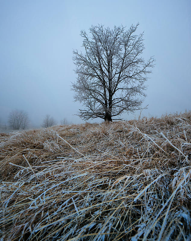 A tree and long grass covered in ice with fog by Riley Joseph for Stocksy United
