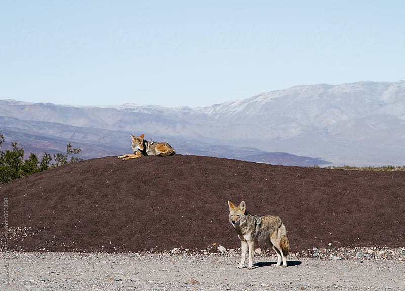 wild animal coyotes in death valley national park usa  by Jesse Morrow for Stocksy United