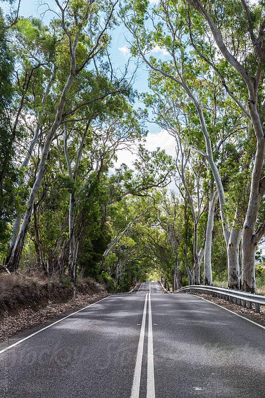 rural road with tall gum trees, South Australia by Gillian Vann for Stocksy United