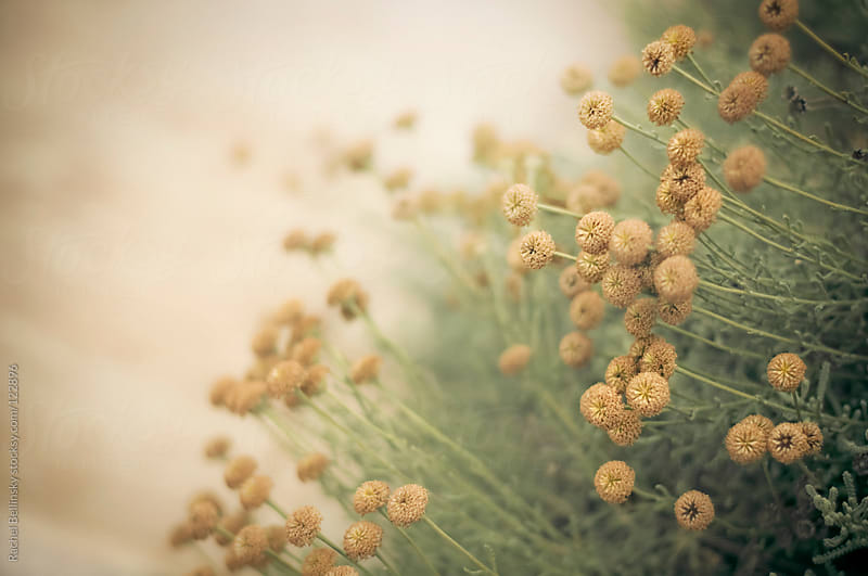 Pale, dry weed blossoms in muted, antique tones by Rachel Bellinsky for Stocksy United
