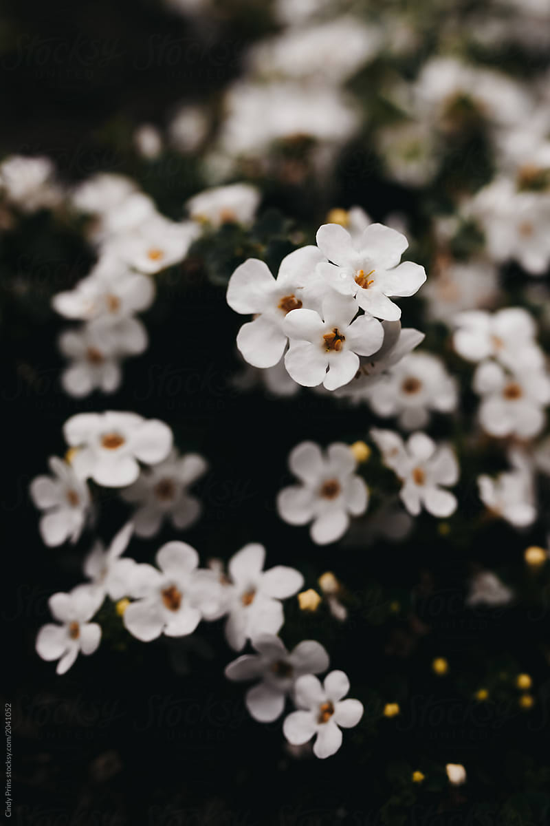 Small White Flowers Against A Dark Background Stocksy United
