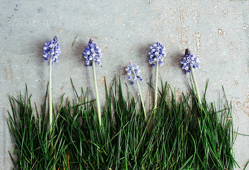 Muscari and grass on zinc by Helen Rushbrook for Stocksy United