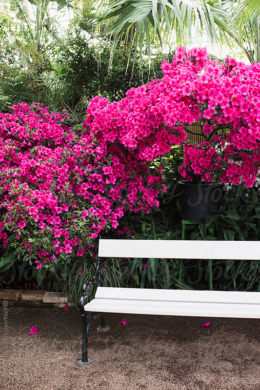 Bench and pink flowers by Jovana Rikalo for Stocksy United