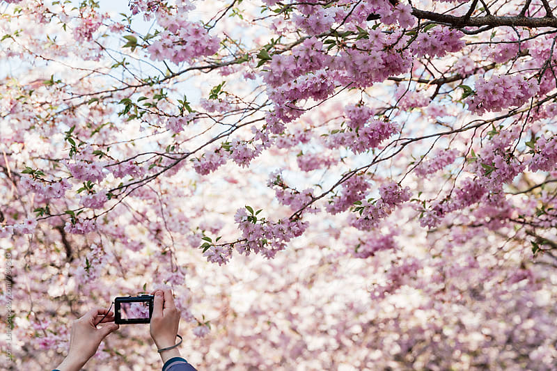 Hands holding compact camera photographing cherry blossom by Lior + Lone for Stocksy United