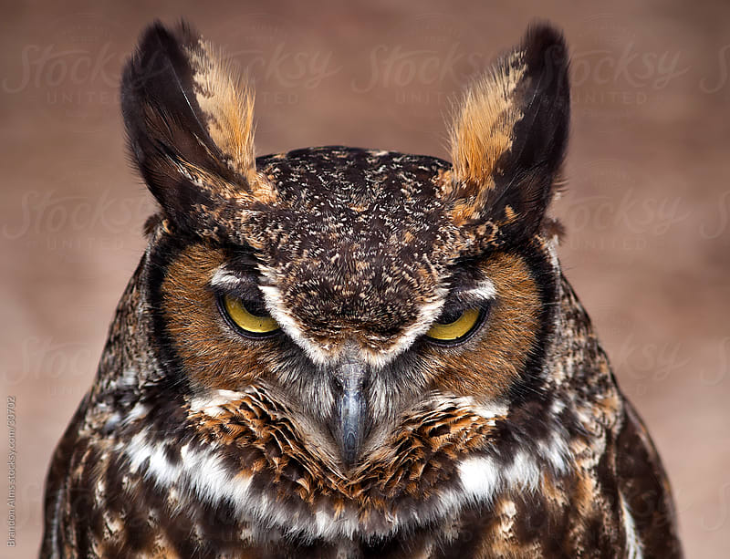 Great Horned Owl with Angry Expression by Brandon Alms for Stocksy United