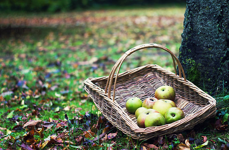 A basket of apples under a tree by Helen Rushbrook for Stocksy United