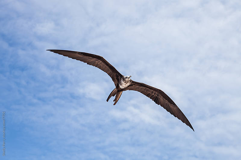 Frigatebird by Shelly Perry for Stocksy United