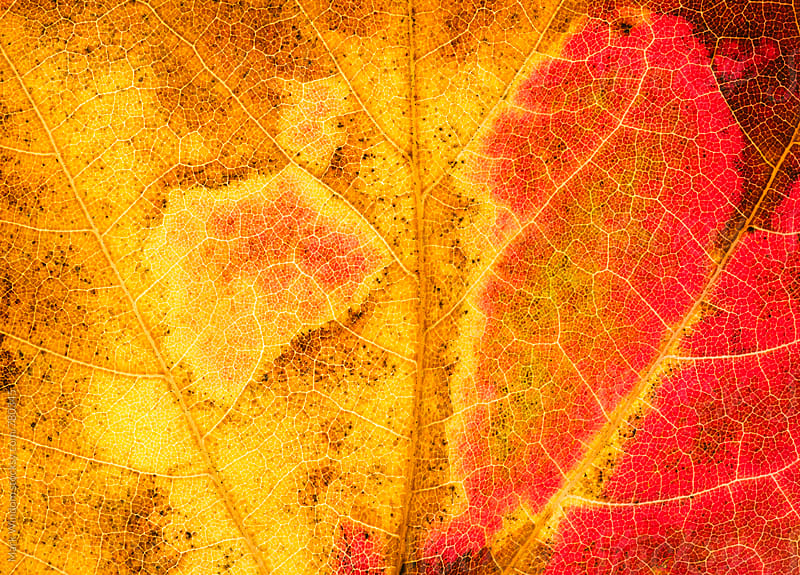 Backlit Scarlet maple leaf in Autumn, closeup by Mark Windom for Stocksy United