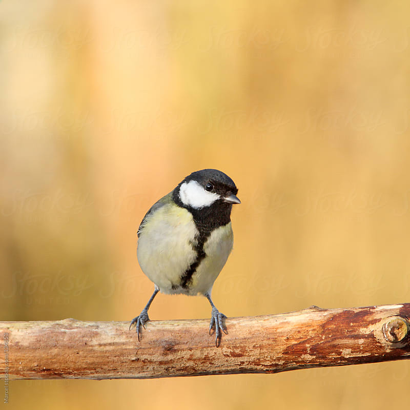 great tit standing on dead branch by Marcel for Stocksy United