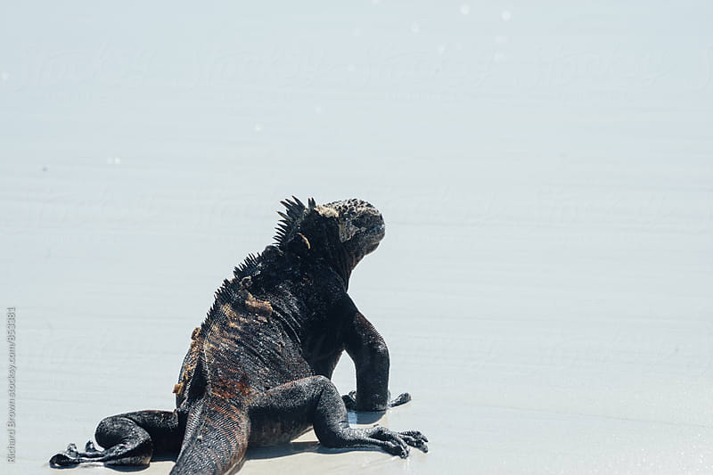 Galapagos Maarine Iguana by Richard Brown for Stocksy United