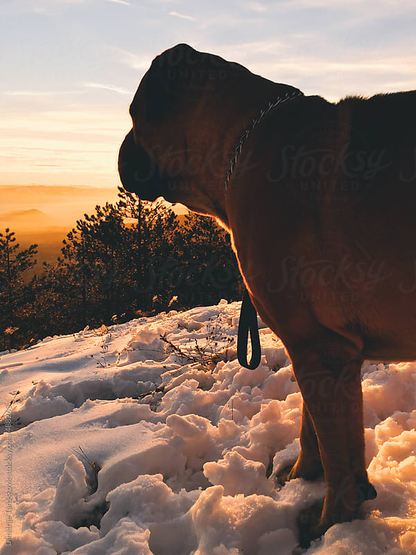 Dog in snow by Dimitrije Tanaskovic for Stocksy United