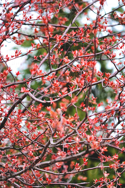 Spring fresh red cherry leaves by Ilya for Stocksy United