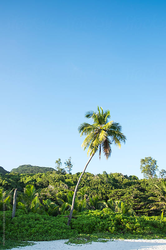 Palm tree stands on Grand Anse Beach, La Digue by michela ravasio for Stocksy United