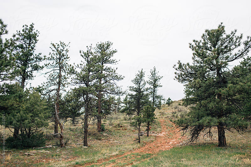 Dirt road leading through pines up mountainside  by Bryan Dale for Stocksy United