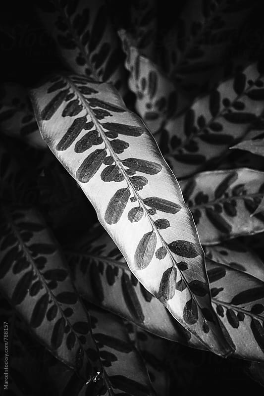 Exotic leaf of calathea plant in a greenhouse by Marcel for Stocksy United