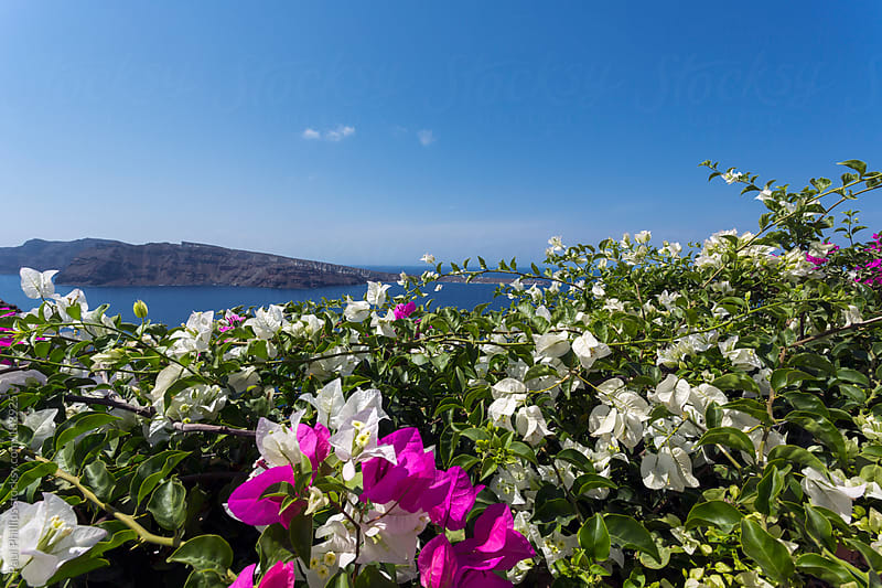 Bougainvillea over a wall in Oia, Santorini. View of Therasia island in the background by Paul Phillips for Stocksy United