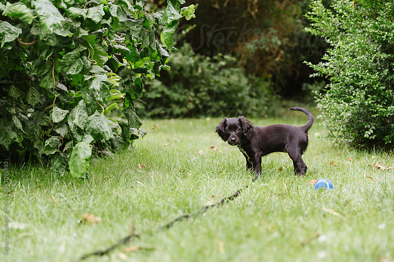 Small puppy outside on a lead in the garden by Rebecca Spencer for Stocksy United