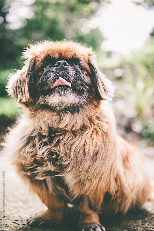 Pekingese dog by Suprijono Suharjoto for Stocksy United