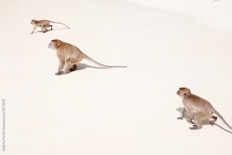 Three monkeys on beach by Andrey Pavlov for Stocksy United