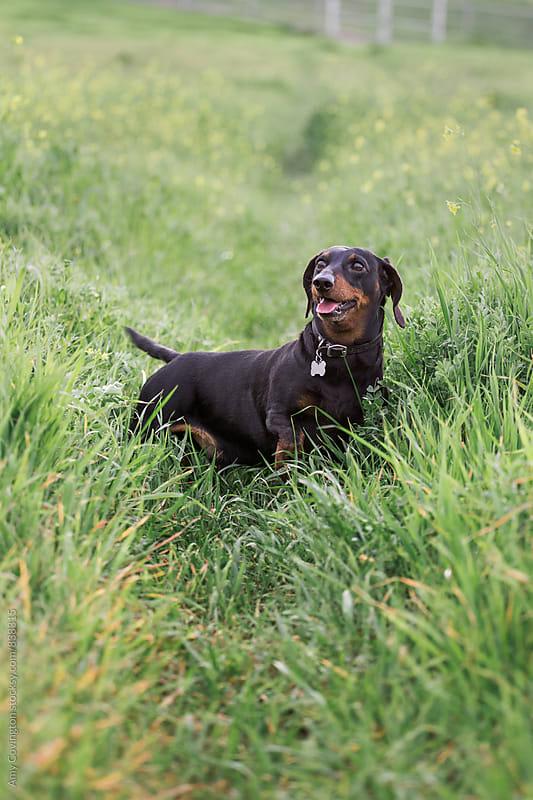 Dachshund in a grassy feild by Amy Covington for Stocksy United