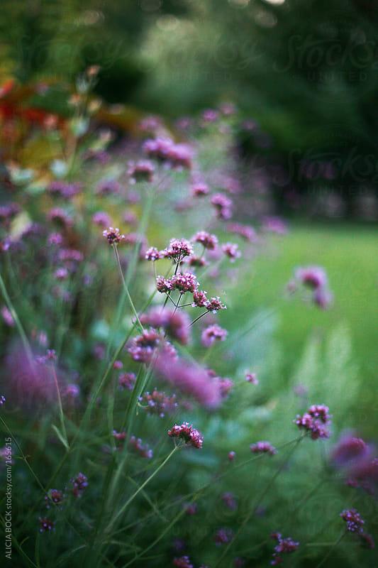 Purple Flowers In A Garden by ALICIA BOCK for Stocksy United