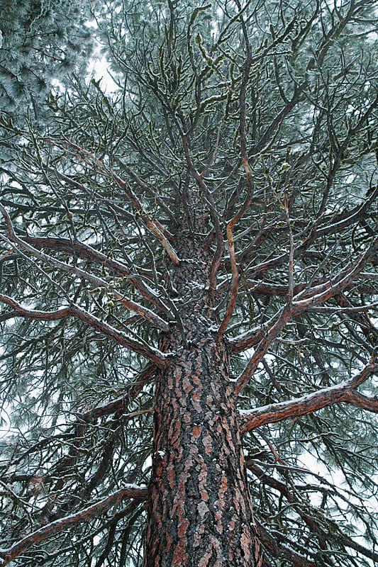 Big Pine by Jesse Morrow for Stocksy United