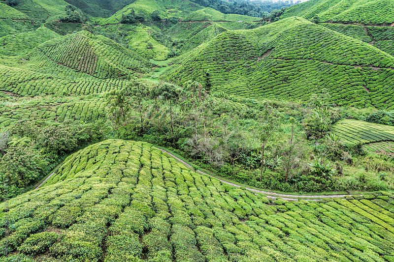 Tea plantation in Malaysia by Alita Ong for Stocksy United