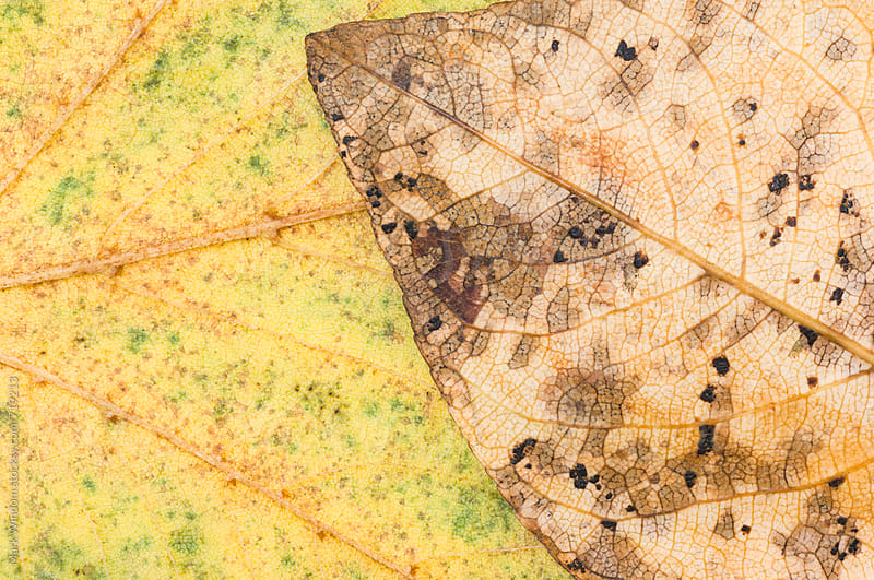 Autumn leaf pair, closeup by Mark Windom for Stocksy United