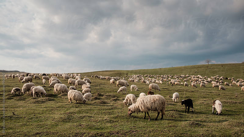 A Flock of Sheep on the Pasture by Branislav Jovanović for Stocksy United