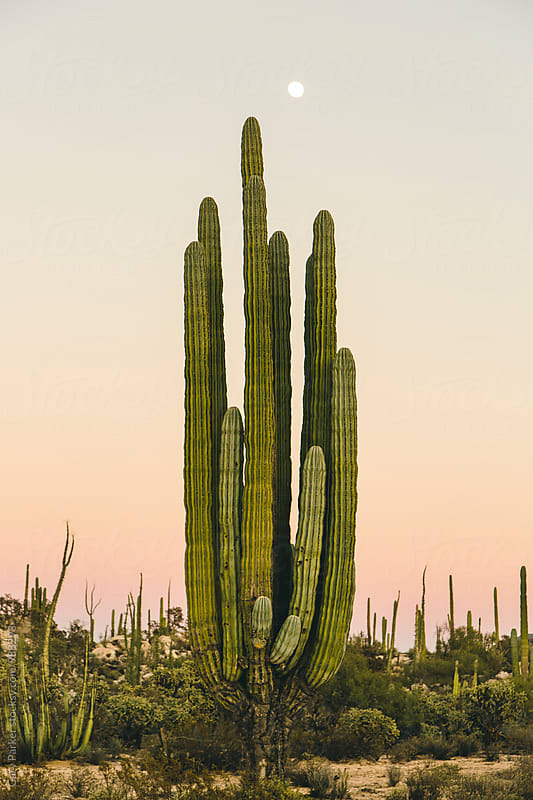 A giant cactus in Mexico by Gary Parker for Stocksy United