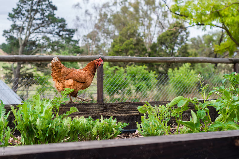 a chicken walking along the edge of a vegetable garden by Gillian Vann for Stocksy United